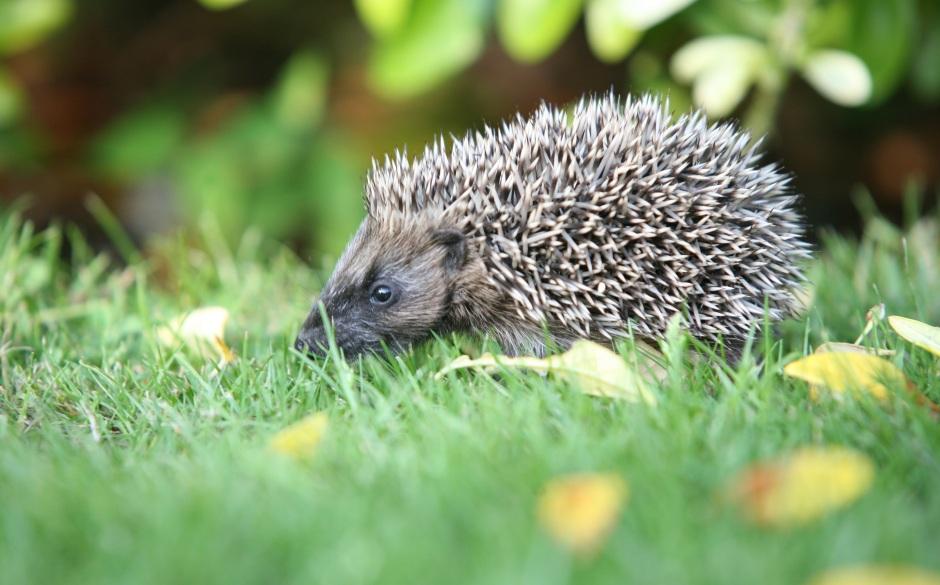 Hedgehog_credit Steve Heliczer 3 (2)