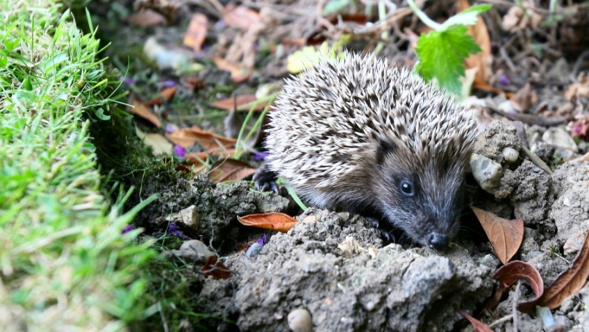 10 hedgehog-friendly gardening tips for the months ahead