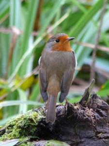Photo of Robin (1)
