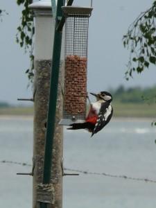 Photo of woodpecker