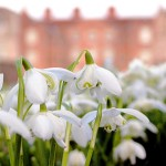 The best places to see Snowdrops in South East England