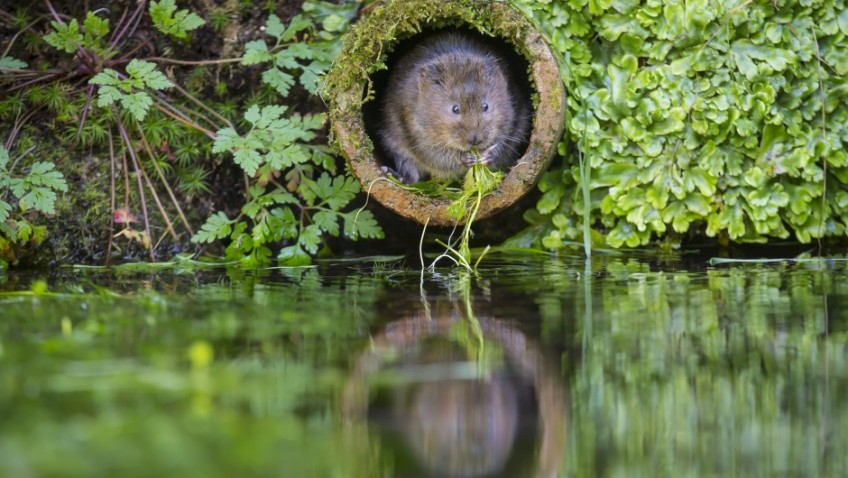 We need your help with the National Water Vole Monitoring Programme