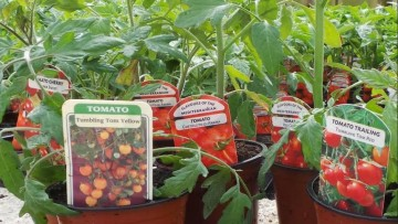 On your toes, get set, GROW (tomatoes)