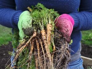 Carrot Harvest KB