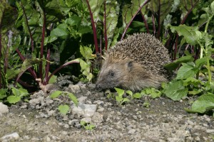 Hedgehog moving through beetroot Credit Dave Bevan