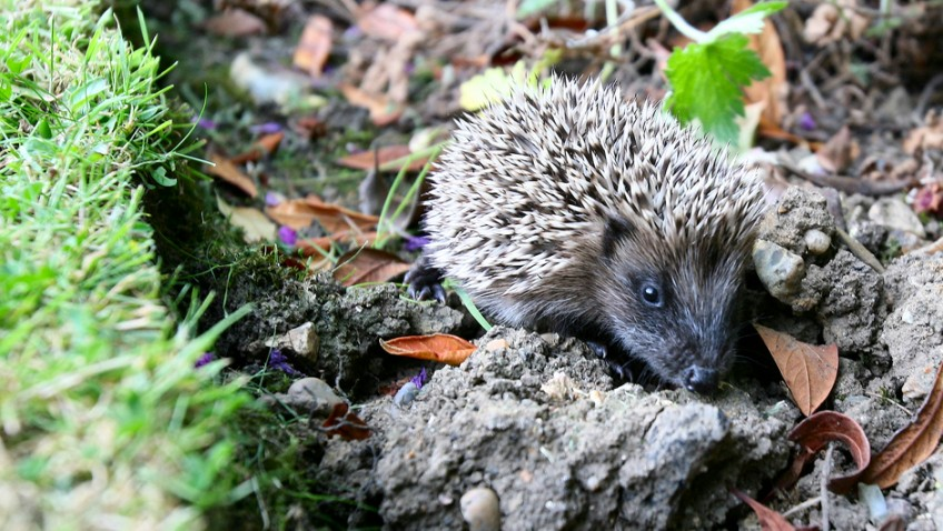 Help our hedgehogs! Celebrities urge gardeners to save the nation's hedgehogs