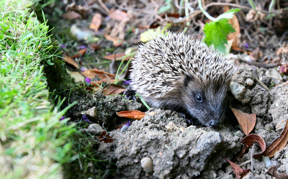 Help Our Hedgehogs! Celebrities Urge Gardeners To Save The