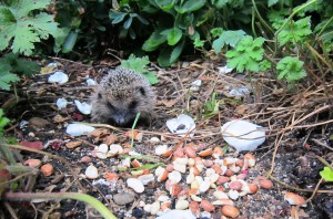 Juvenile hedgehog eating credit Lyndsey Smith