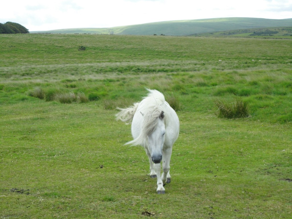 Dartmoor pony - Free for commercial use No attribution required - Credit Pixabay