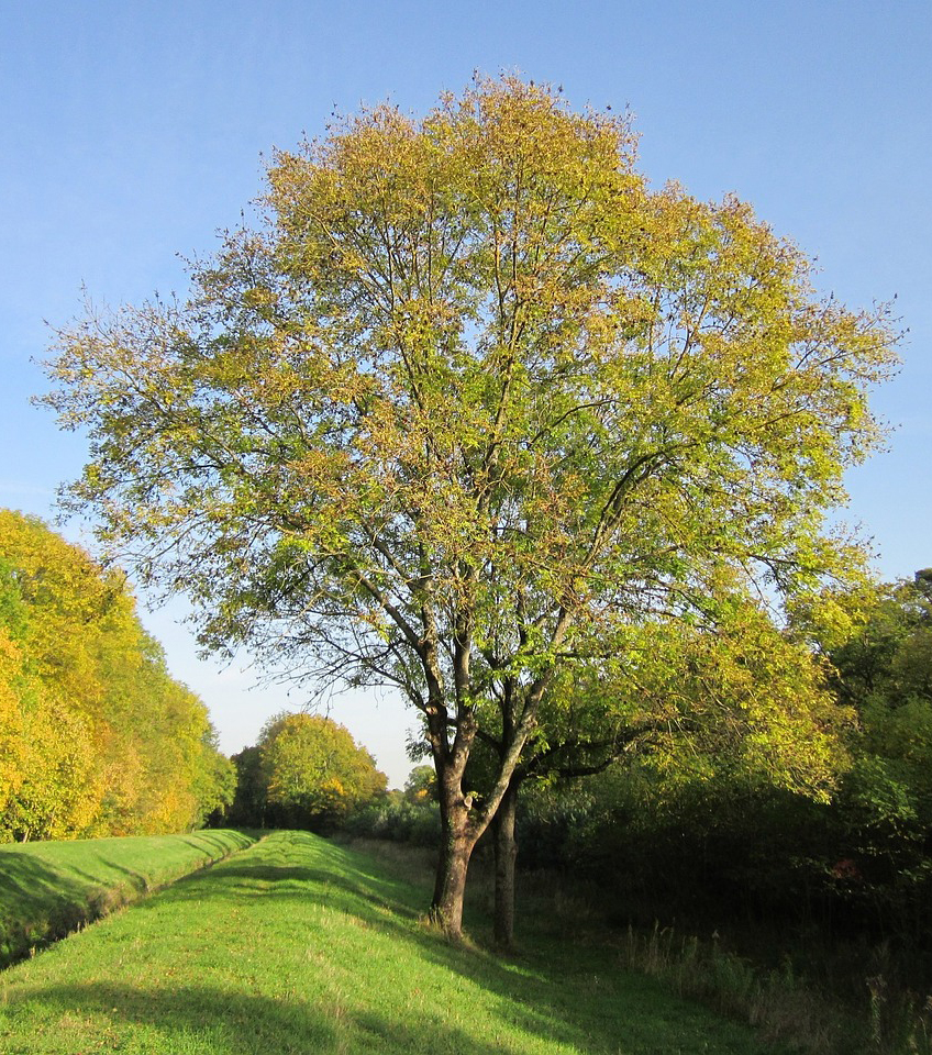 Ash tree - Fraxinus Excelsior - Free for commercial use  No attribution required - Credit Pixabay