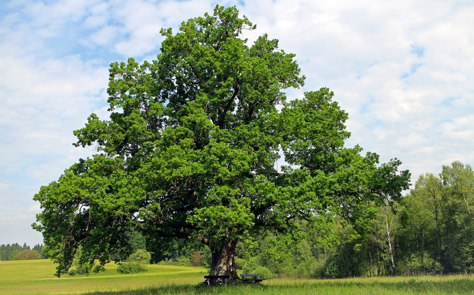 Oak tree - Free for commercial use No attribution required - Credit Pixabay