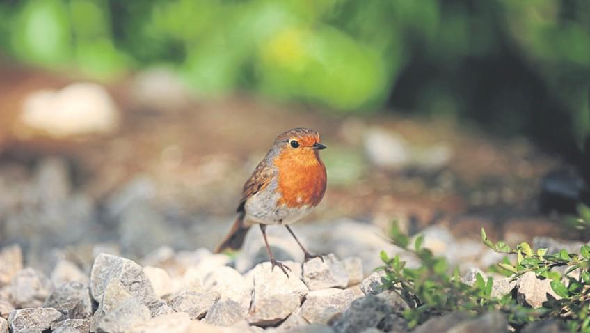 Bobbin the robin