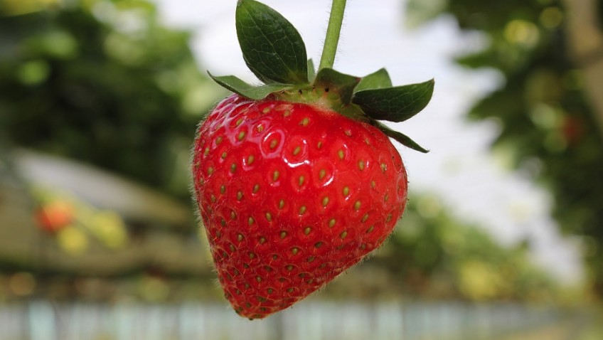 A guide to strawberries from the experts: From farm to fork