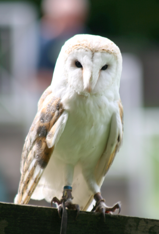 Hoo-hoozat! It's Shadow the barn owl! - Mature Times