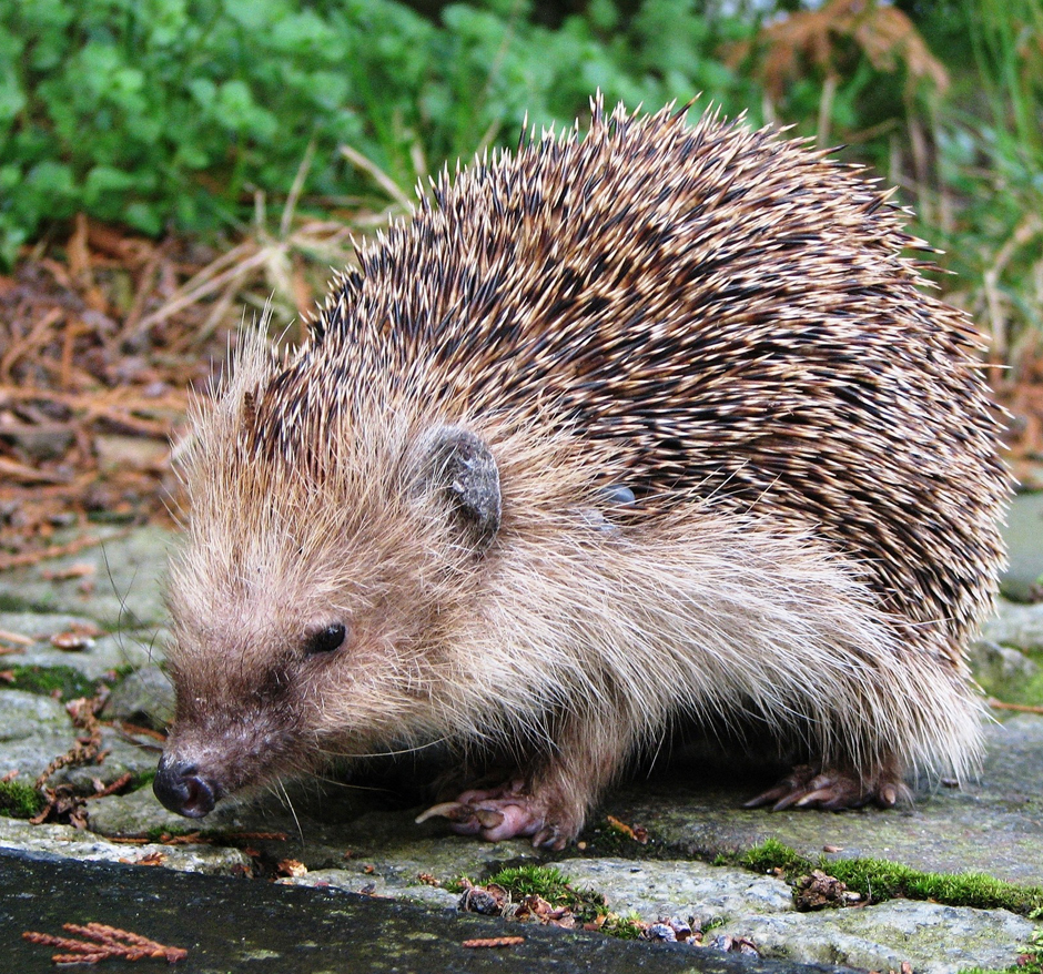 Hedgehog - Free for commercial use No attribution required - Credit Pixabay