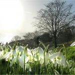 Snowdrops: The first signs of Spring
