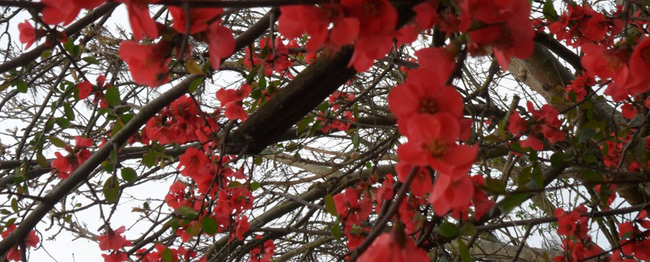 Chaenomeles flowers - Much loved by the Victorians…