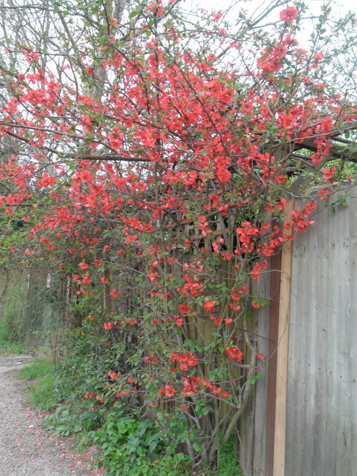 Chaenomeles shrub