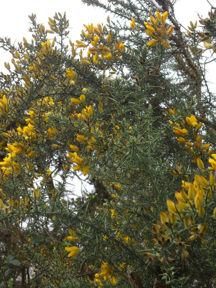 Gorse - The strong, yellow colour of Gorse