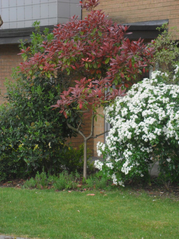 Photinia 'Red Robin' – amended by art