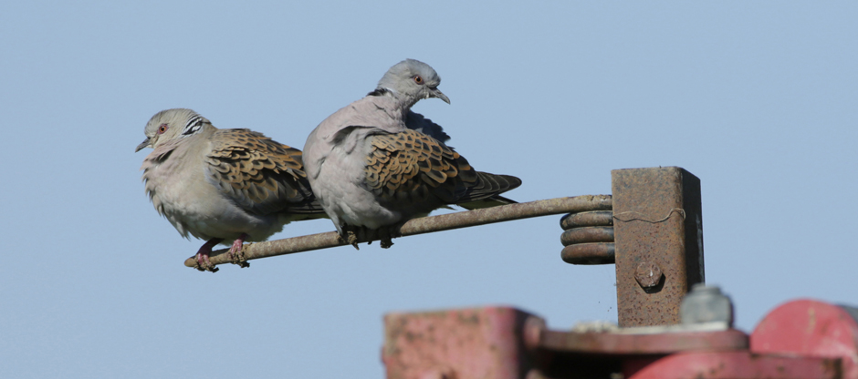 Turtle dove - Credit Andy Hay (rspb-images.com)