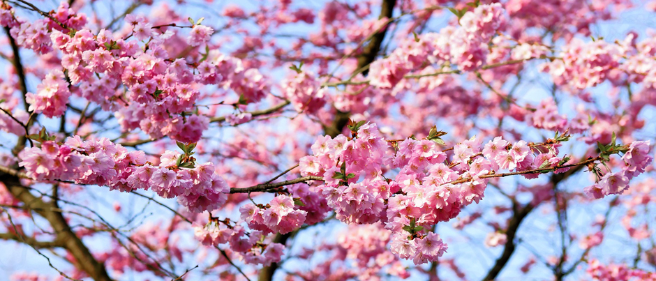 Cherry blossom - Free for commercial use No attribution required - Credit Pixabay