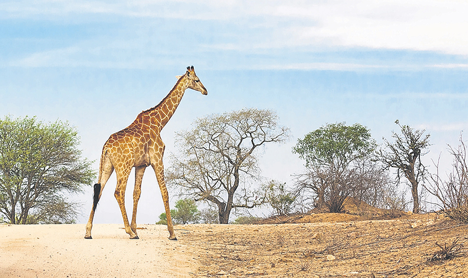 South African safari - Giraffe
