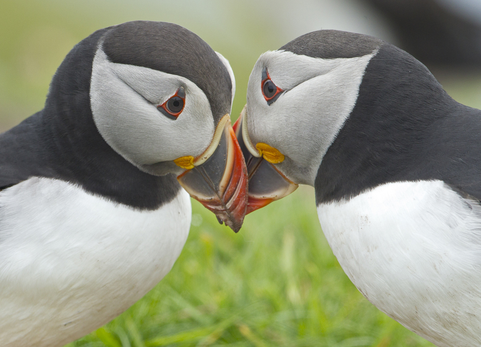 Puffins kissing - Credit Steve Race