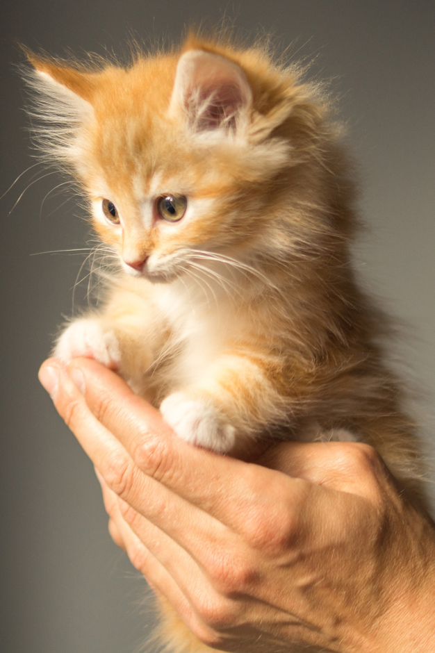 kitten - Free for commercial use No attribution required - Credit Pixabay