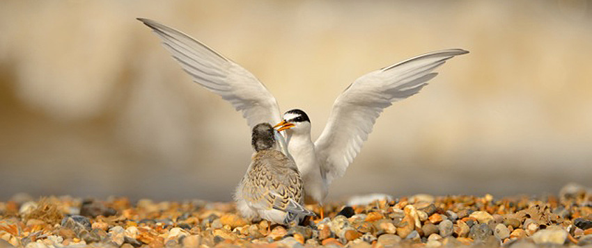 Little Terns - Nesting birds at RSPB Dungeness