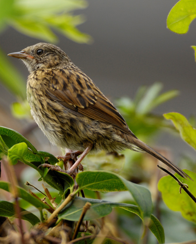 RSPB - Thrush - Garden birds