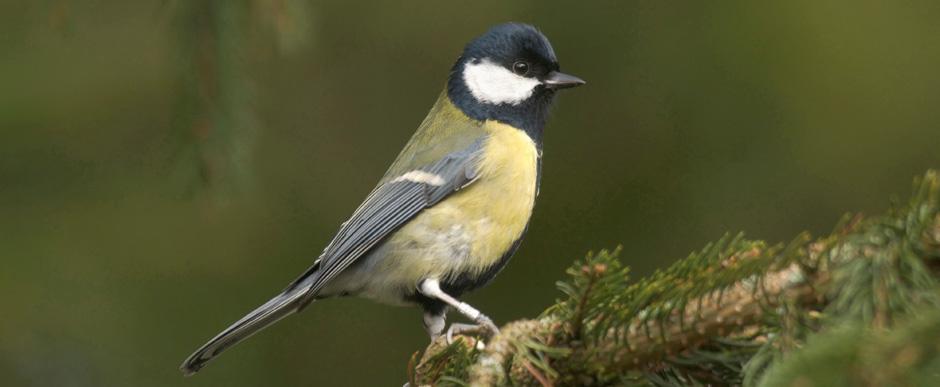 RSPB - Tit - Garden birds