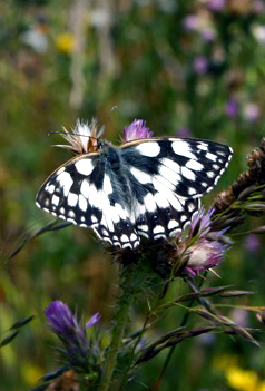 National Trust - Mabled White butterfly - Credit Jaime Futers