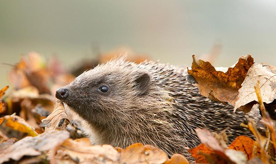 RSPB - Hedgehog - Credit Ben Hall - rspb-images.com