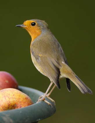 RSPB - Robin - Credit Ray Kennedy - rspb-images.com