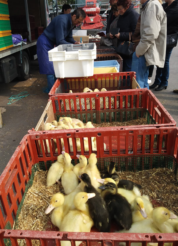 French market - Ducklings