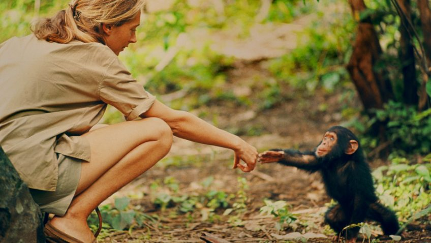 A riveting and thought-provoking new look at Jane Goodall's career