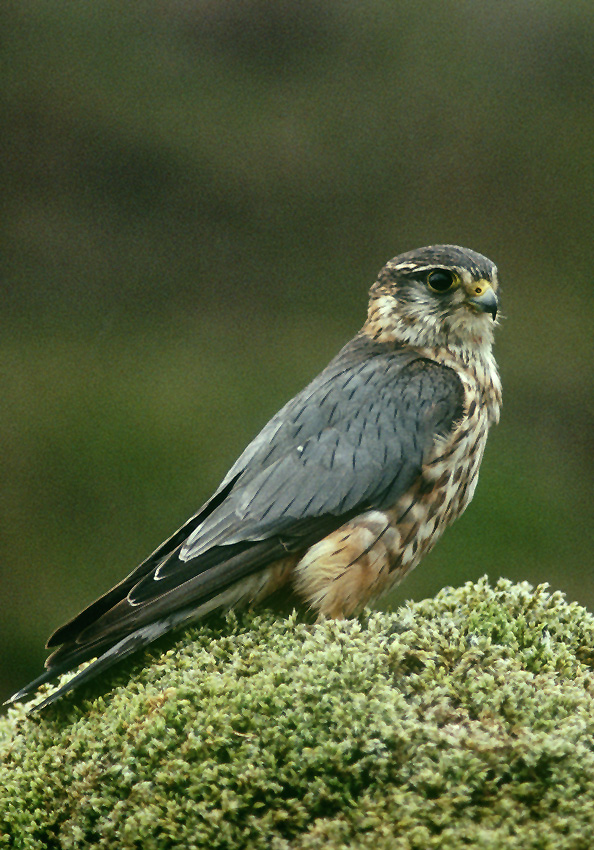 Merlin male - Credit Chris Gomersall (rspb-images.com)