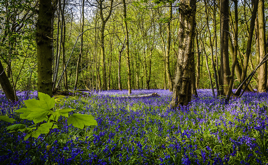 Bluebells in spring - Free for commercial use No attribution required - Credit Pixabay