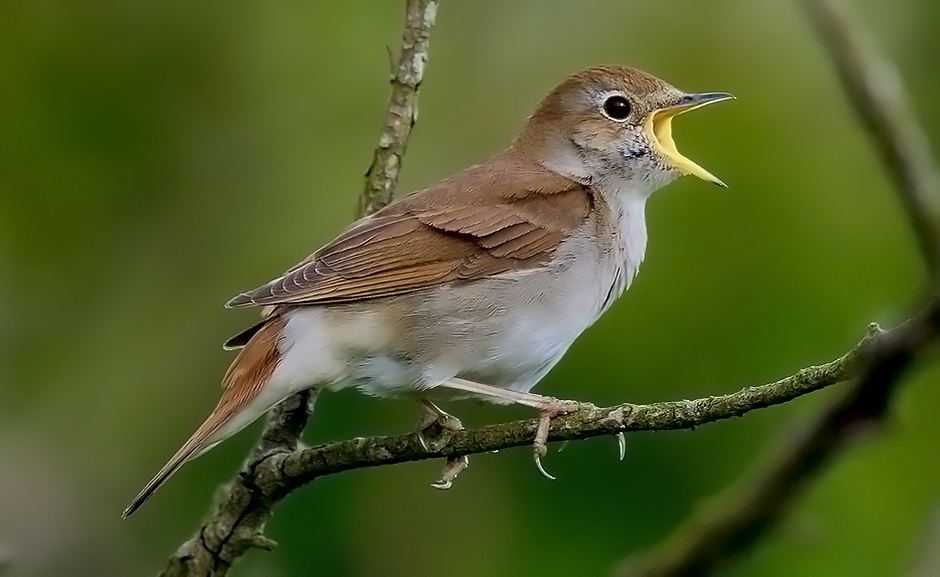 Nightingale (Lucinia megarhynchos) - Credit Roger Wilmshurst
