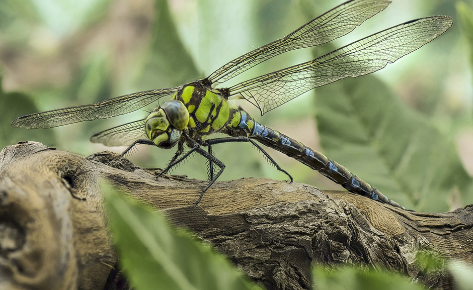 Dragonfly - Free for commercial use - No attribution required - Credit Pixabay
