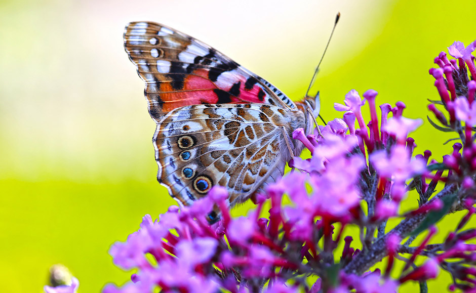 Butterfly - Free for commercial use - No attribution required - Credit Pixabay