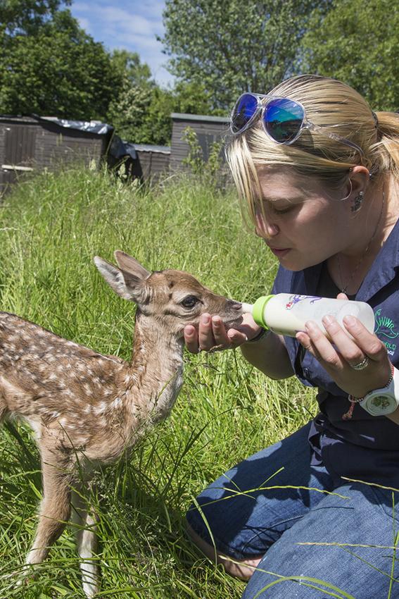 Bottle feeding orphan fallow deer (Dama dama), Secret World animal sanctuary, Somerset, UK, June 2014