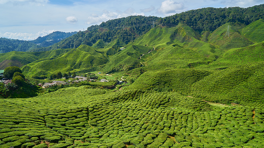 Tea plantation - Malaysia - Free for commercial use - No attribution required - Credit Pixabay