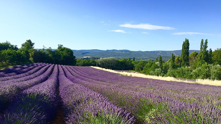 Lavender fields - Silver Travel Adviser October
