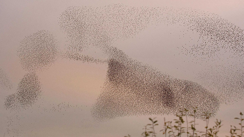 Starlings Sturnus vulgaris, gathering above reed bed at Ham Wall - Credit RSPB