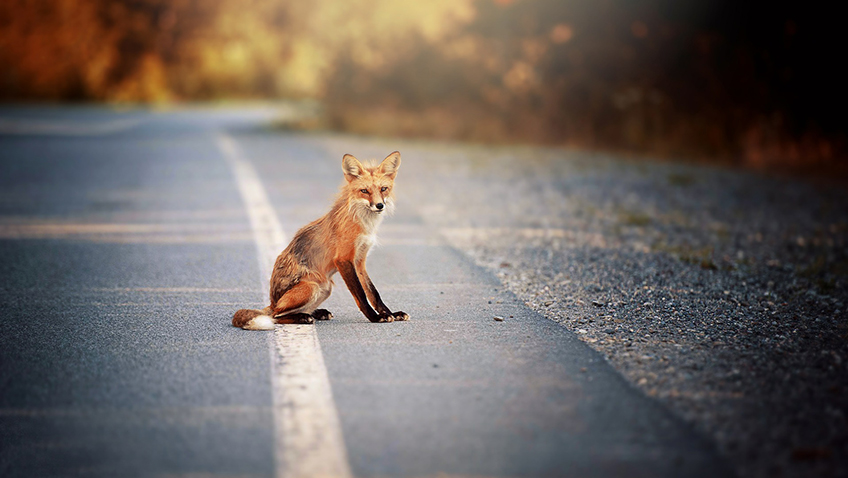 Fox on road - Habitat destruction - Free for commercial use No attribution required - Credit Pixabay