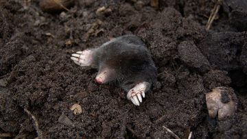 A wilder future for Badger, Ratty, Mole and Toad