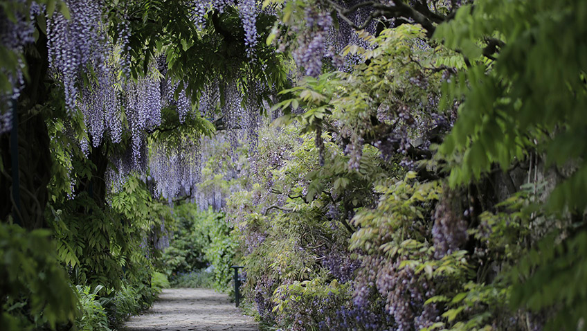 Wisteria path - Free for commercial use No attribution required - Credit Pixabay