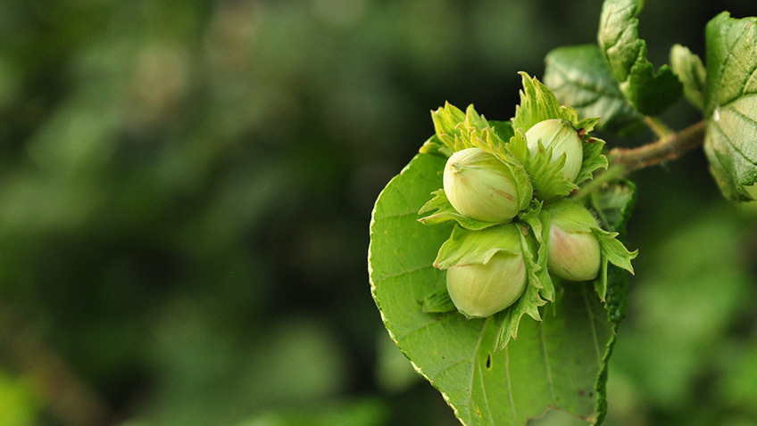 Hazelnuts - Free for commercial use No attribution required - Credit Pixabay